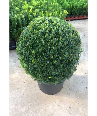Buxus sempervirens Box Ball 30cm