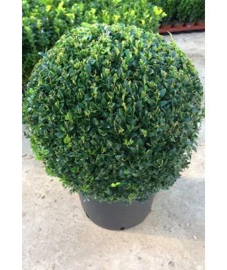 Buxus sempervirens Box Ball 40cm