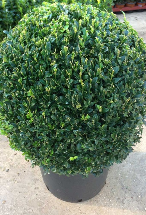 Buxus sempervirens Box Ball 50cm
