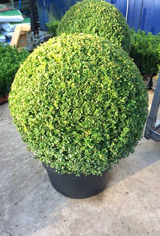 Buxus sempervirens Box Ball 60cm