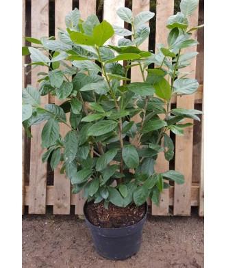 Prunus laurocerasus Cherry Laurel Hedging 120-130cm